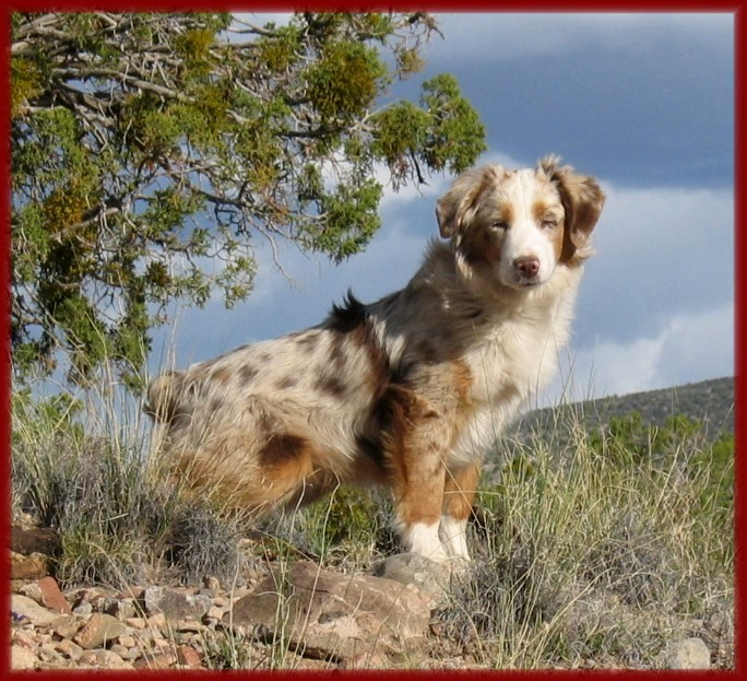 australian shepherd being aggressive in a relationship